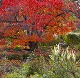 Arbre d'érable rouge dans le jardin luxuriant Photos stock