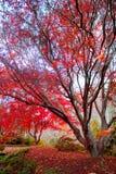 Arbre d'érable rouge japonais Images libres de droits