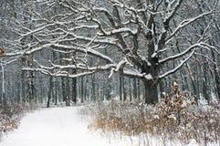 Arbre d'érable, tempête de neige de l'hiver Photographie stock