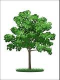 Arbre d'érable vert illustration stock