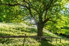 Arbre d'été en vert luxuriant avec la lumière du soleil brillant et une barrière et une route de rusticv dans le premier plan Images libres de droits
