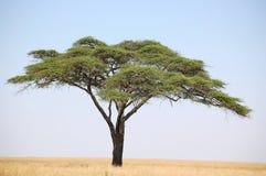 Arbre d'acacia Photo libre de droits