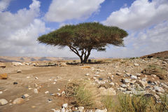 Arbre d'acacia. Image stock