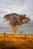 Arbre d'acacia au coucher du soleil Images libres de droits