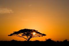 Arbre d'acacia au lever de soleil Photos stock