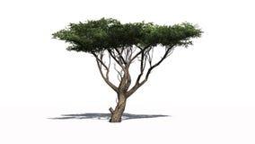 Arbre d'acacia avec l'ombre Photos stock