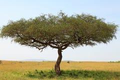 Arbre d'acacia en Afrique Photos libres de droits