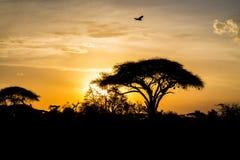 Arbre d'acacia en silhouette de coucher du soleil de la savane de l'Afrique Photos stock