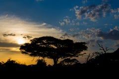 Arbre d'acacia en silhouette de coucher du soleil de la savane de l'Afrique Photo libre de droits