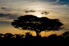 Arbre d'acacia en silhouette de coucher du soleil de la savane de l'Afrique Photos libres de droits