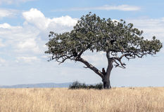 Arbre d'acacia en Tanzanie Photo stock
