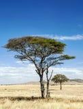 Arbre d'acacia en Tanzanie dans la verticale Images stock