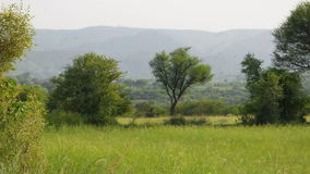Arbre d'acacia et montagne bleue Photos stock