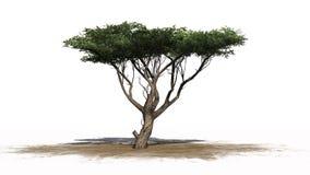 Arbre d'acacia sur le secteur de sable Image stock