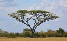 Arbre d'Acaia sur les plaines de l'Afrique Image libre de droits