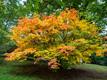 Arbre d'Acer Soccharinum Photo stock