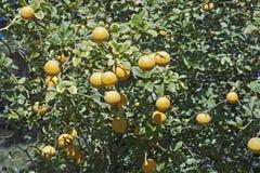 Arbre d'agrume trifolié avec des fruits Photographie stock libre de droits