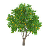 Arbre d'agrumes d'isolement. citron Photo stock