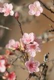 arbre d'amande Photo libre de droits
