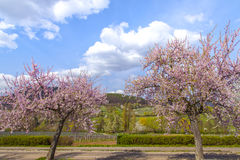 Arbre d'amande avec l'itinéraire du sud Ger de vin de paysage rose de fleur images stock