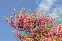 Arbre d'amande avec les fleurs roses de floraison Photographie stock