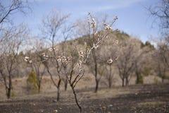 Arbre d'amande dans la fleur Photos libres de droits