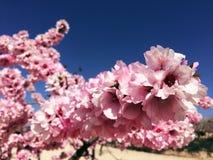 Arbre d'amande dans la fleur en hiver image libre de droits