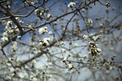 Arbre d'amande de floraison photos stock