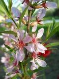 Arbre d'amande de floraison Photo libre de droits