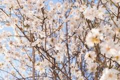 Arbre d'amande de floraison avant ressort image libre de droits