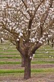 Arbre d'amande de floraison dans un verger Photographie stock