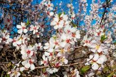 Arbre d'amande de floraison, fleurs blanches de ressort images libres de droits