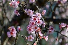Arbre d'amande de floraison, ressort photo libre de droits