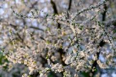 Arbre d'amande de floraison sur le fond de ciel bleu images libres de droits