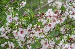 Arbre d'amande en fleur Image stock