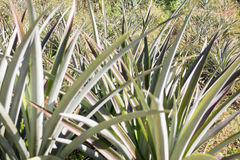 Arbre d'ananas Photo stock
