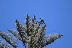 Arbre d'araucaria avec le perroquet vert contre le ciel bleu image stock