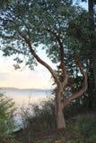 Arbre d'Arbutus le long de route de crochet du ` s de marcheur, île de ressort de sel, AVANT JÉSUS CHRIST Photographie stock