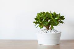 Arbre d'argent d'usine de jade d'ovata de Crassula de plante d'intérieur dans le pot blanc images libres de droits
