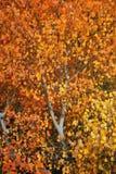 Arbre d'Aspen d'automne Photographie stock