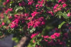 Arbre d'aubépine de région boisée au printemps Photo libre de droits