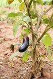 Arbre d'aubergine Photos libres de droits