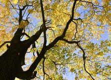 Arbre d'automne avec des branches de contraste photos libres de droits