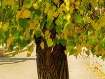 Arbre d'automne avec des feuilles de vert et de jaune image stock