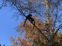 Arbre d'automne avec la singe Madagascar de l?mur photo libre de droits