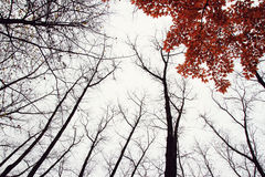 Arbre d'automne avec les feuilles rouges Photos stock