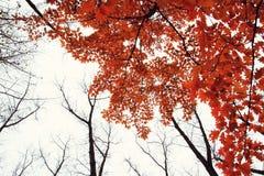 Arbre d'automne avec les feuilles rouges Photographie stock libre de droits