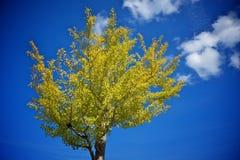 Arbre d'automne avec les lames jaunes Photo stock