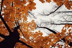Arbre d'automne avec les lames jaunes Photos libres de droits
