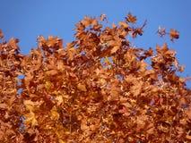 Arbre d'automne Couleurs rouges en automne Photos stock